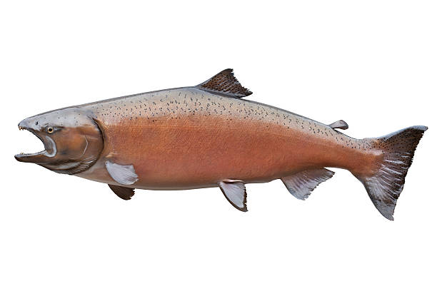 big alaskan king or chinook salmon isolated on white - chinook salmon stock photos and pictures