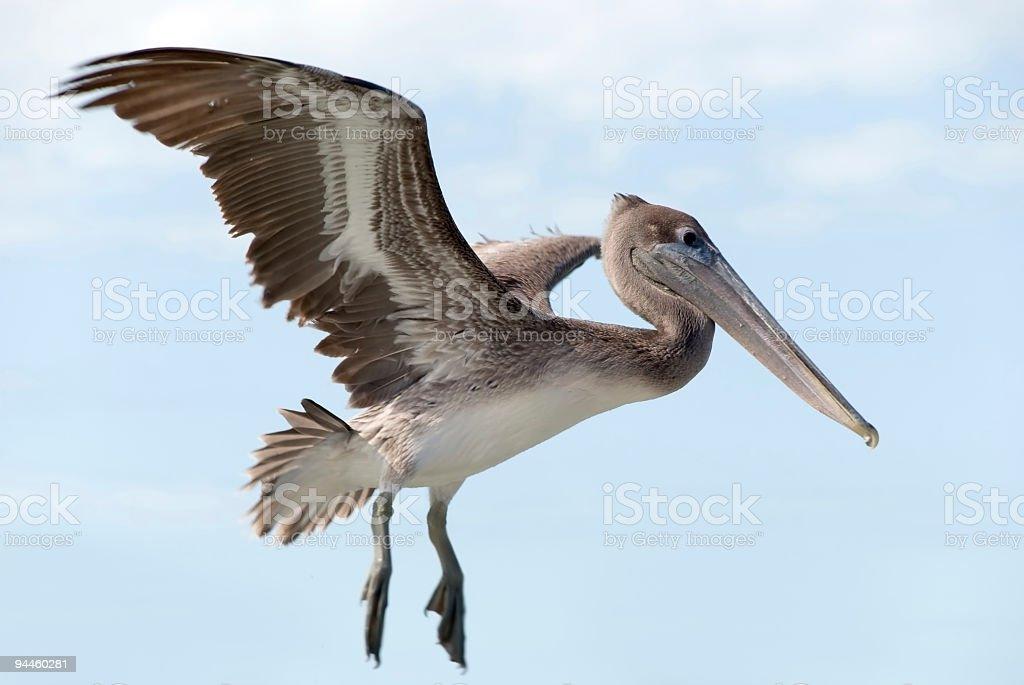 big, american brown pelican flying royalty-free stock photo