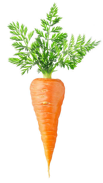 Big and healthy carrot with vivid colors  stock photo