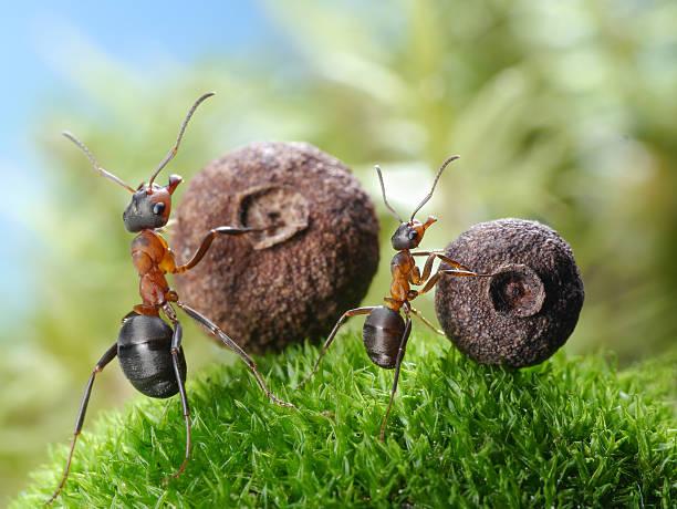 Großen und kleinen Ameisen roll entsprechenden Samen – Foto