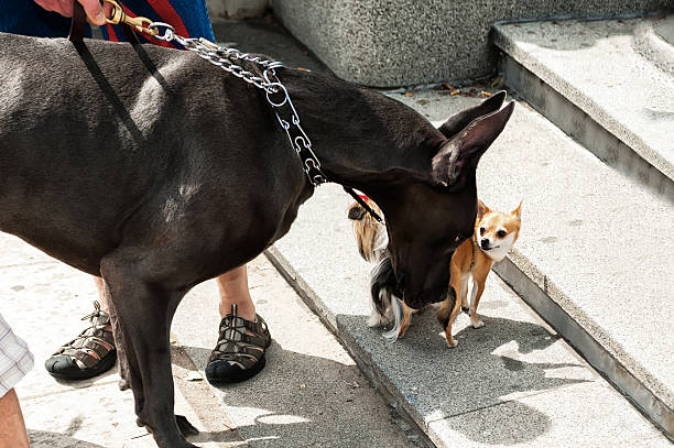 Big and Little Dog, Chihuahua, Great Dane together stock photo