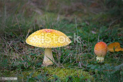 Two Fly Agaric (Amanita muscaria) Mushrooms in various stages of maturity. Oftem referred to as a Toadstool. Orange cap with white spots and a white stem