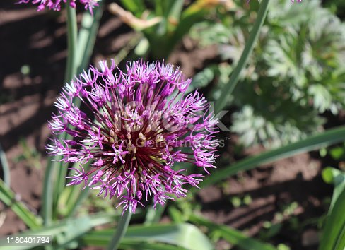 Big and round purple flowers Early emperor ornamental onion flowers allium jesdianum. Big violet bulbs,allium are bulbous herbaceous perennials with a strong onion or garlic scent.