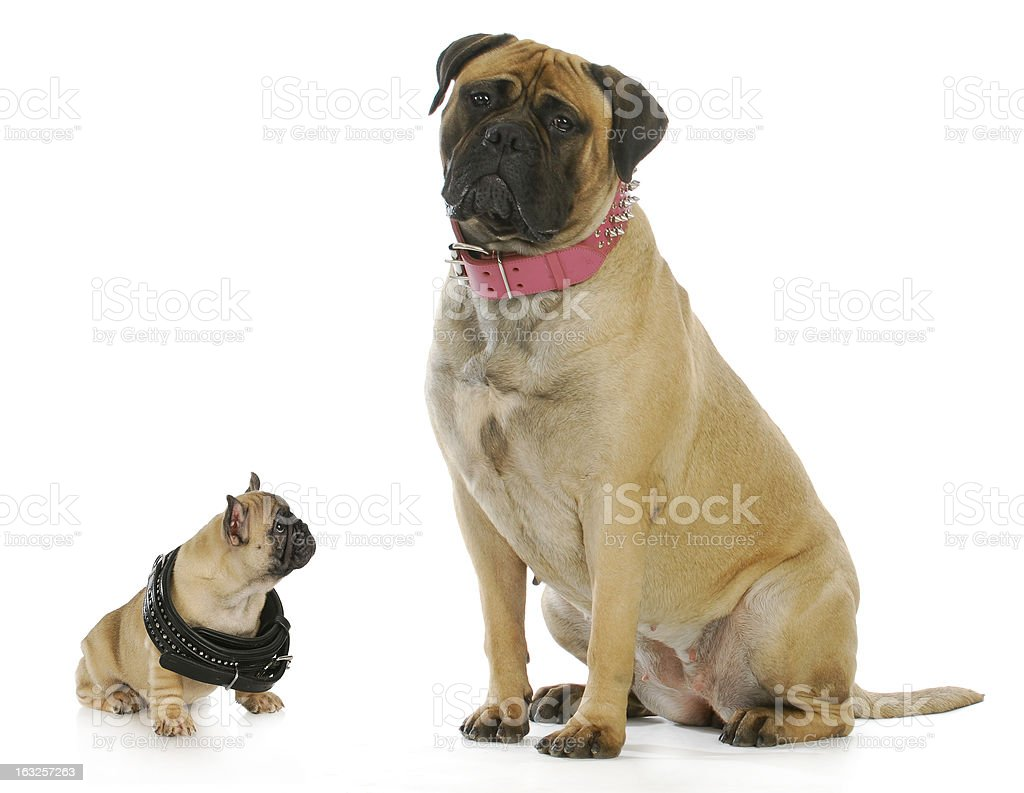 big and small dog stock photo