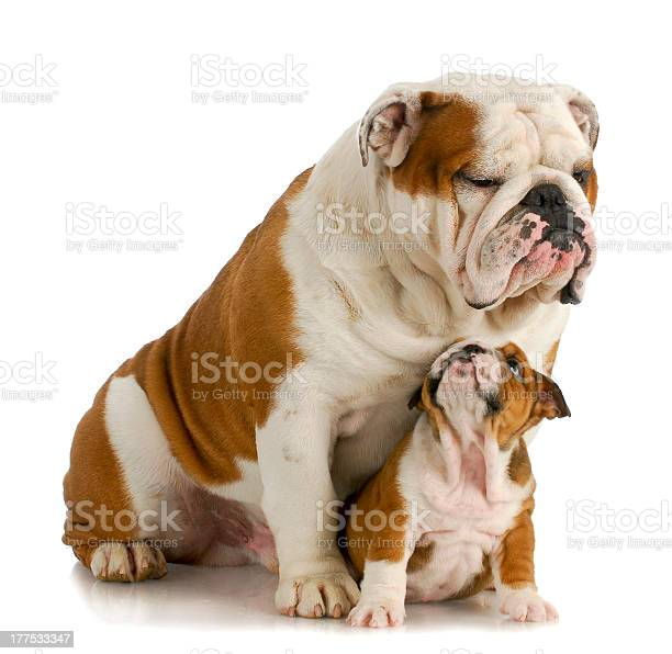Big and small dog picture id177533347?b=1&k=6&m=177533347&s=612x612&h=fip8jztqrqj31lrztqtbgmk6tgglrvwusmu8snn619c=