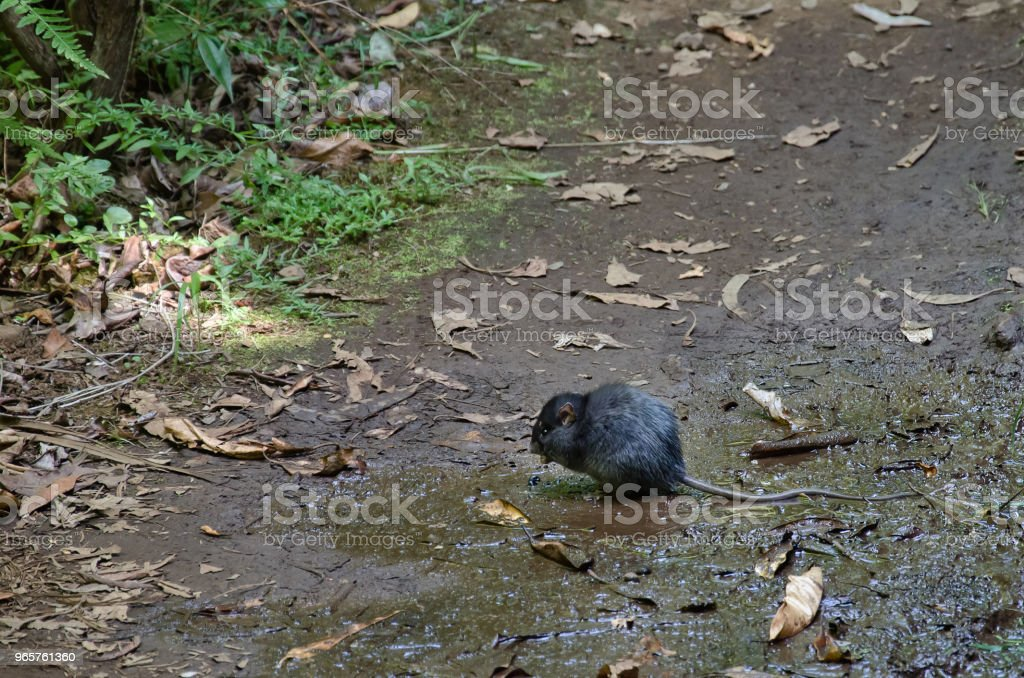 Big and wild black rat in natural environment - Royalty-free Animal Stock Photo