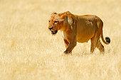 Southwest African lion or Katanga lion (Panthera leo bleyenberghi) drinking at a waterhole in the Etosha National Park, Namibia