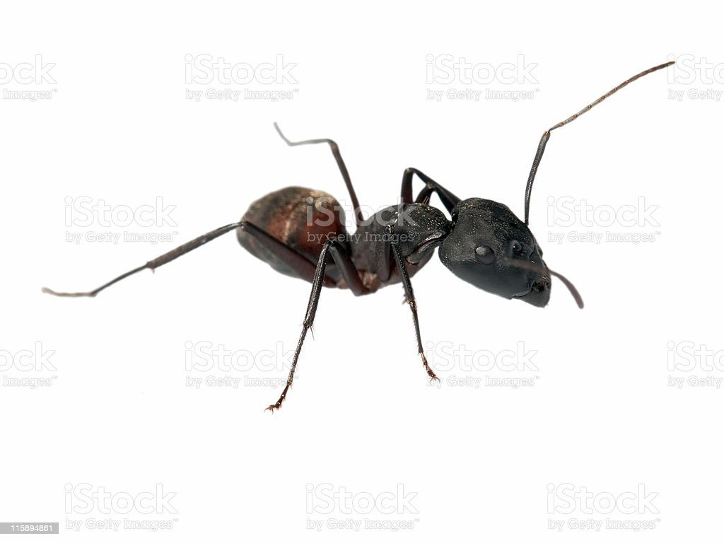 Big ant 10 royalty-free stock photo