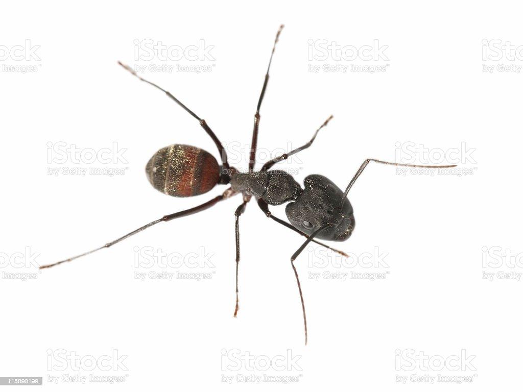 Big ant 2 stock photo