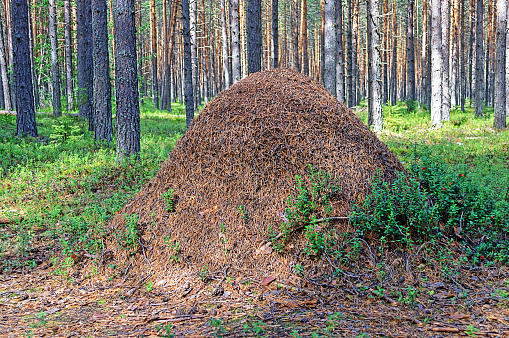 Big ant hill in the woods