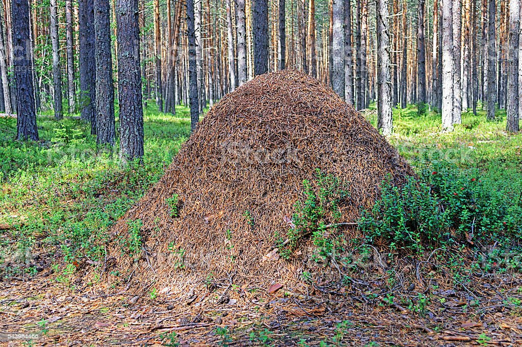 Big ant hill in the woods stock photo