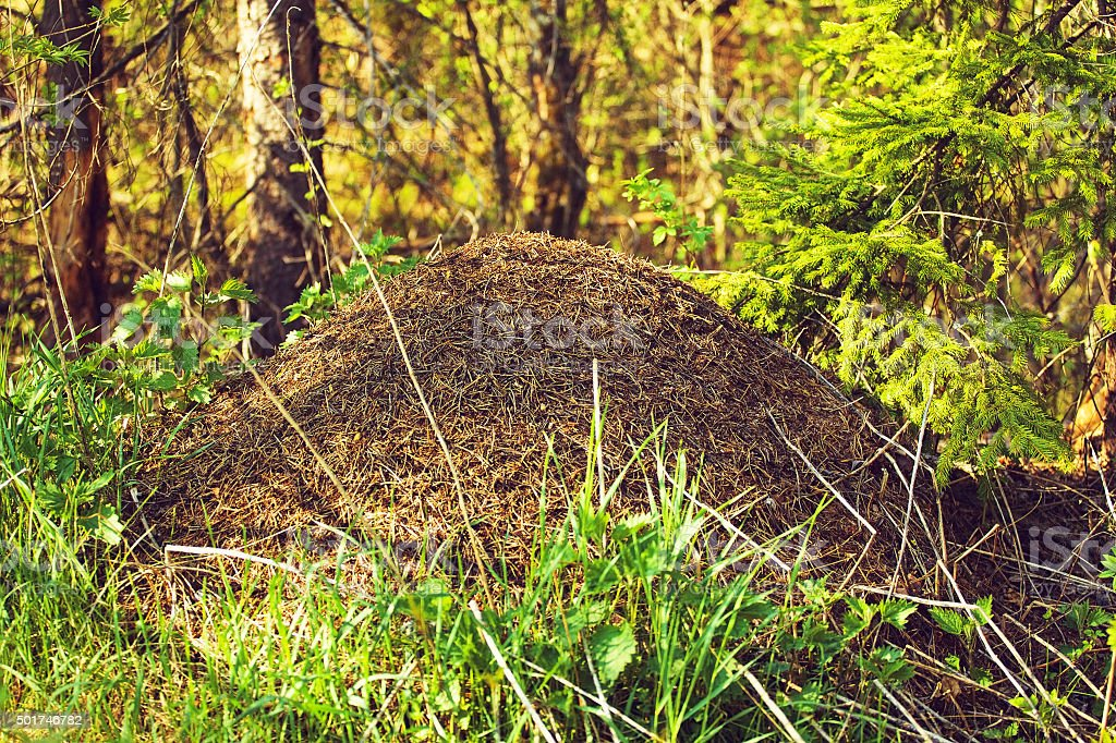 Big Anthill In The Forest stock photo