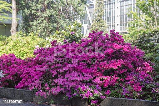Big azalea or rhododendron in garden. Season of flowering azaleas (rhododendron) at botanical garden in Kiev Ukraine