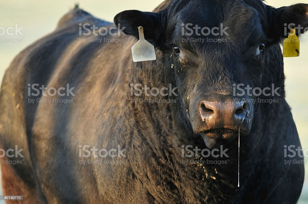 Big bad bull stock photo