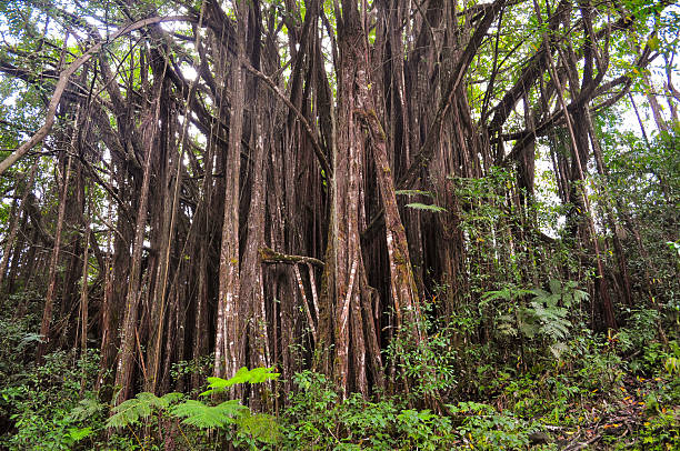 Big Banyan Tree Big Banyan Tree found in the tropical forests of Hawaii. neicebird stock pictures, royalty-free photos & images