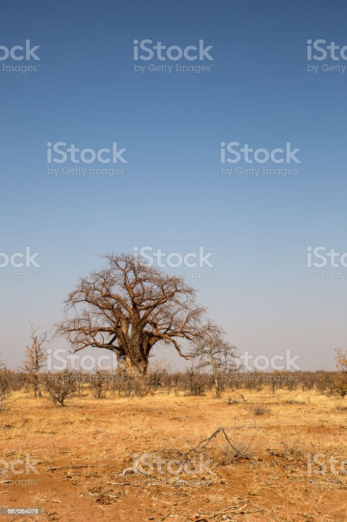 Big Baobab Trees in Desert of Mapungubwe National Park, South Africa stock photo
