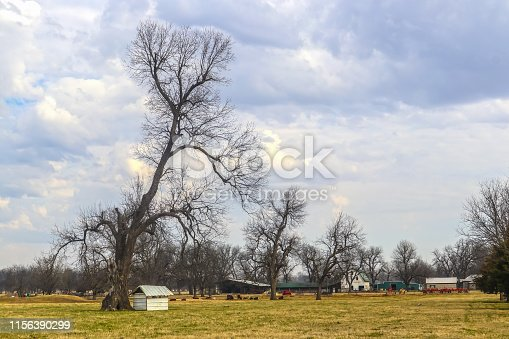 Big barren trees in farm field with barn and outbuildings and cows in background under dramatic cloudy sky