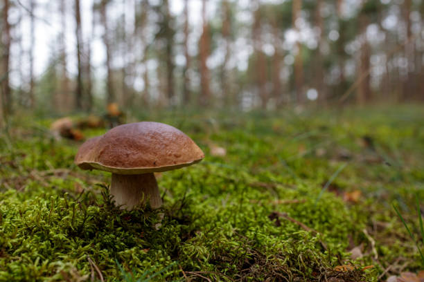 big bay bolete mushroom in moss in the autumn forest stock photo