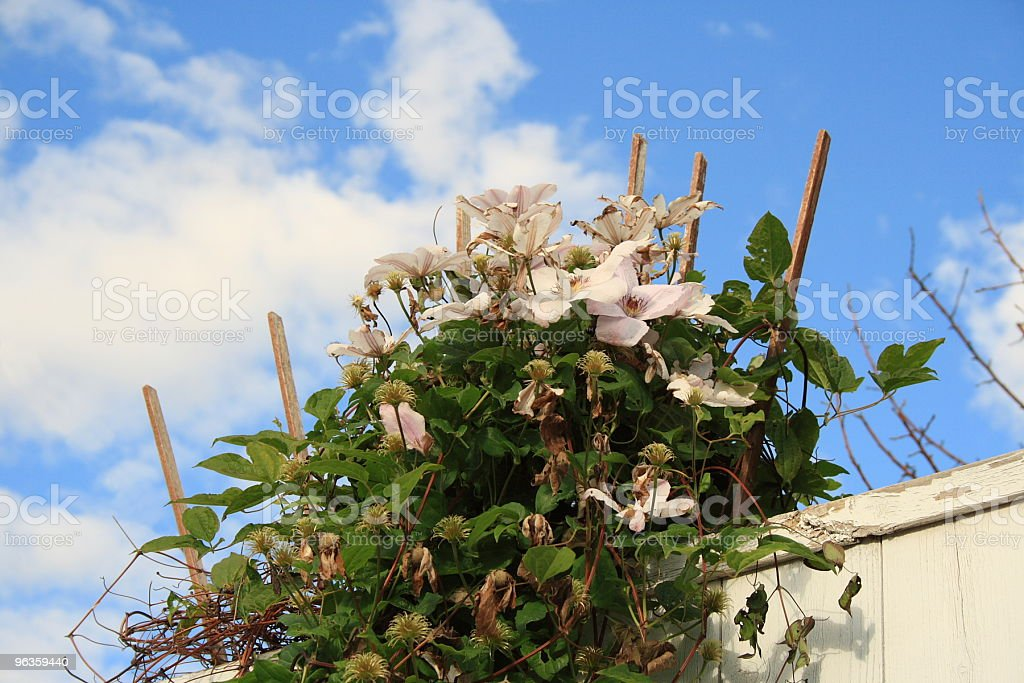 big beautiful blossoms vine climbed up stalks and over fence royalty-free stock photo