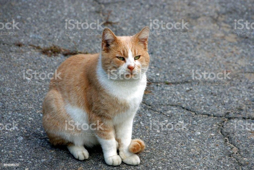 big beautiful cat sitting on the gray asphalt royalty-free stock photo