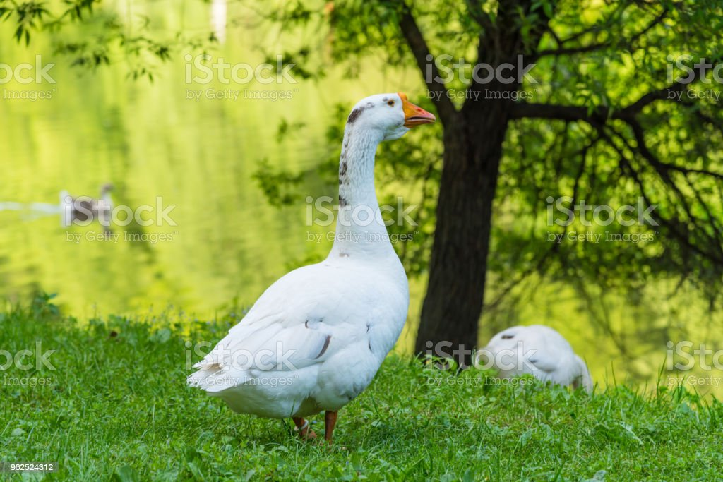Big beautiful goose on the river bank in the countryside - Royalty-free Agriculture Stock Photo
