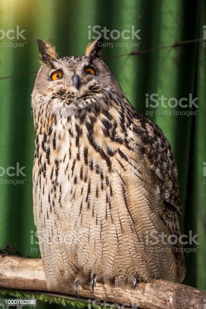 Big beautiful owl sitting on a branch unblinking eyes picture id1000760390?b=1&k=6&m=1000760390&s=612x612&h=zniw6quxc6ogenfok7uazesdin0cmbjd0gxz9umkbc4=