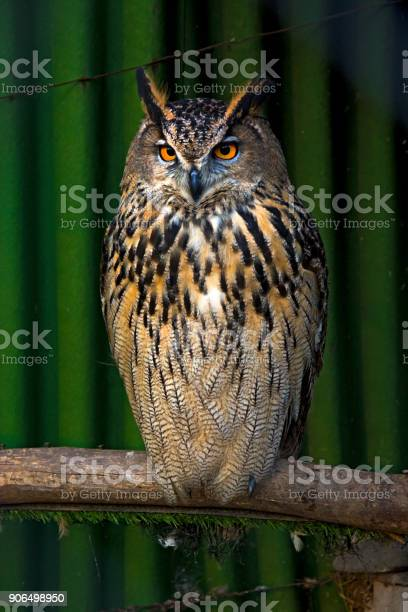 Big beautiful owl sitting on a branch unblinking eyes picture id906498950?b=1&k=6&m=906498950&s=612x612&h=5w9s2dlqmyxgutwwdgi 2kckw8drdzfk7gxky3ezil4=