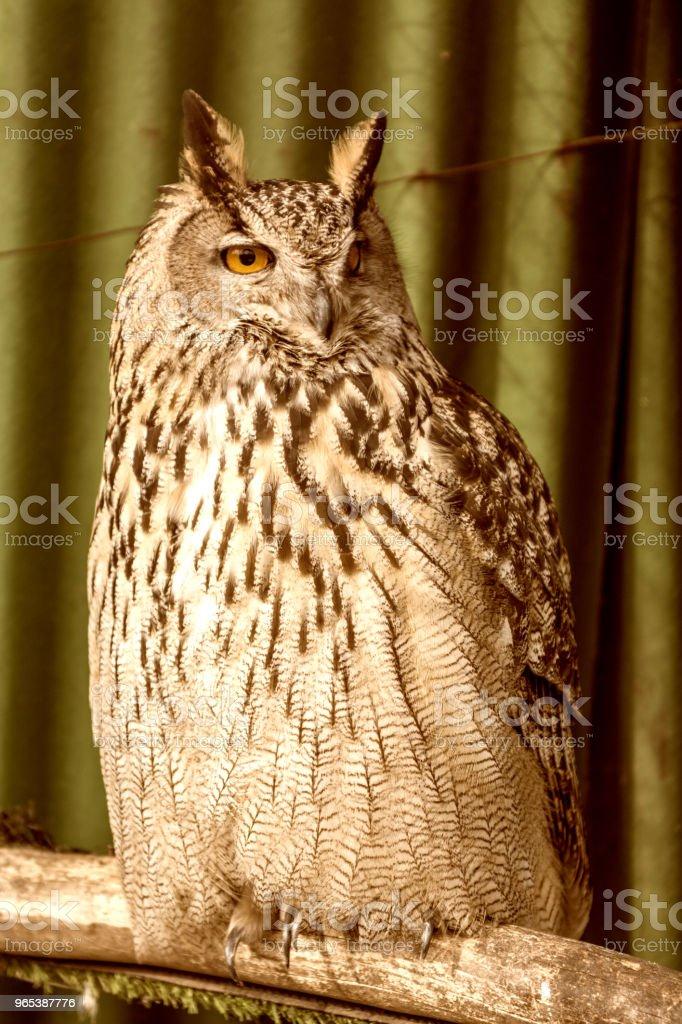 big beautiful owl sitting on a branch. unblinking eyes. zbiór zdjęć royalty-free