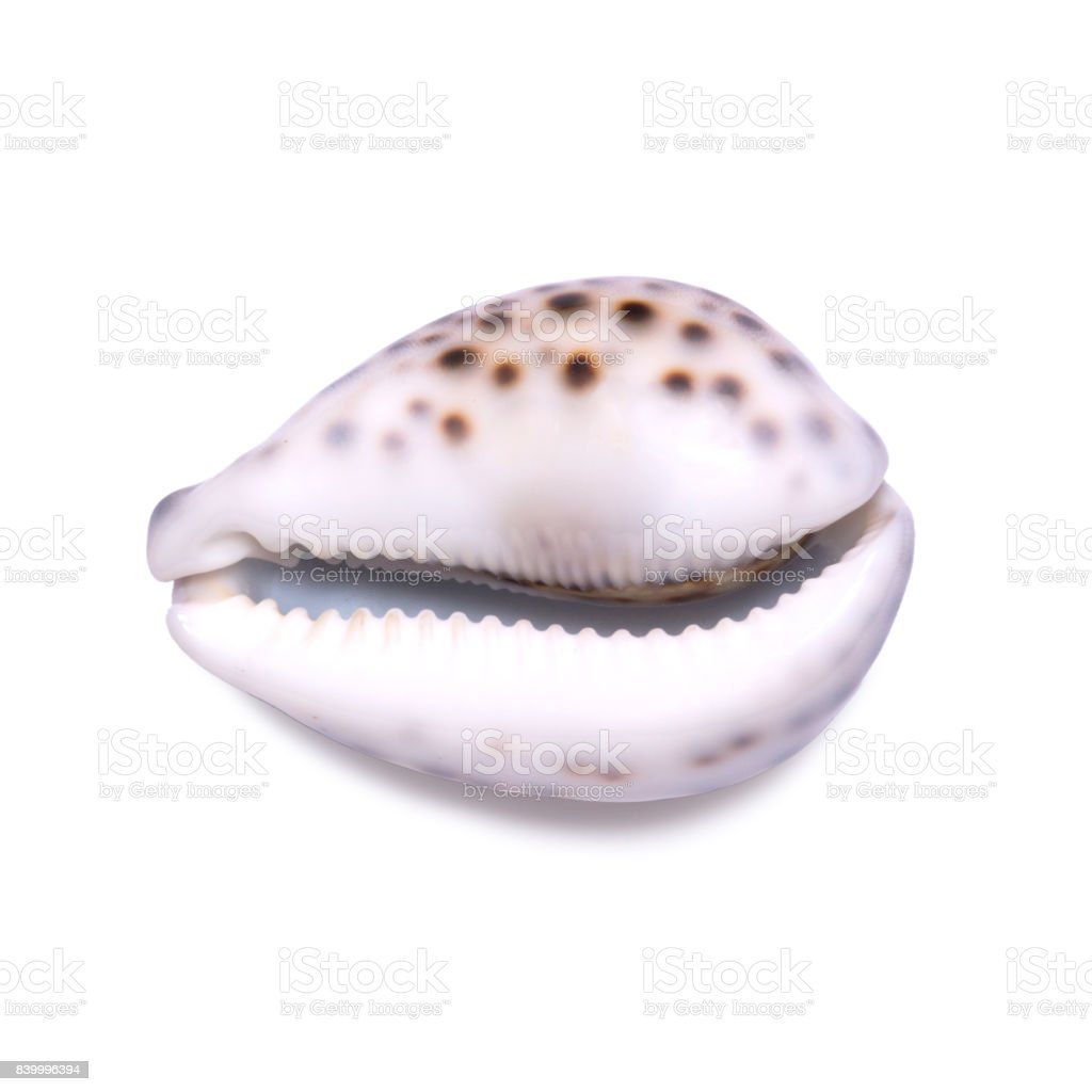 Big beautiful seashell isolated on white background. stock photo