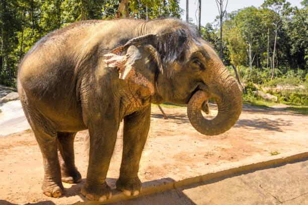 großer, schöner, starker Elefant, unter der hellen Sonne – Foto