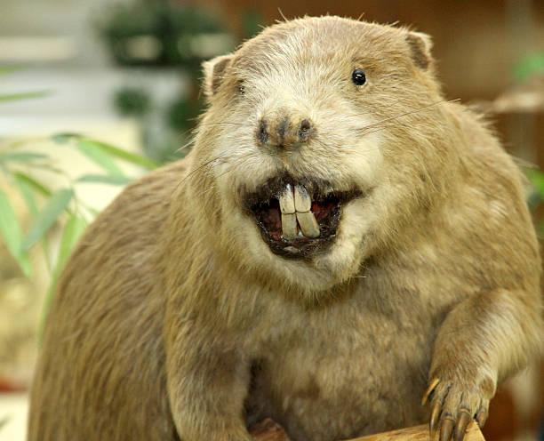 Big Beaver avec immense incisors - Photo