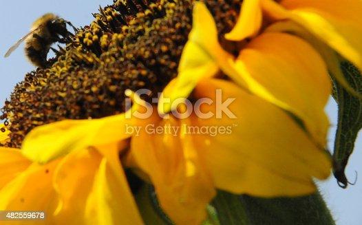 Big bee landed on sunflower