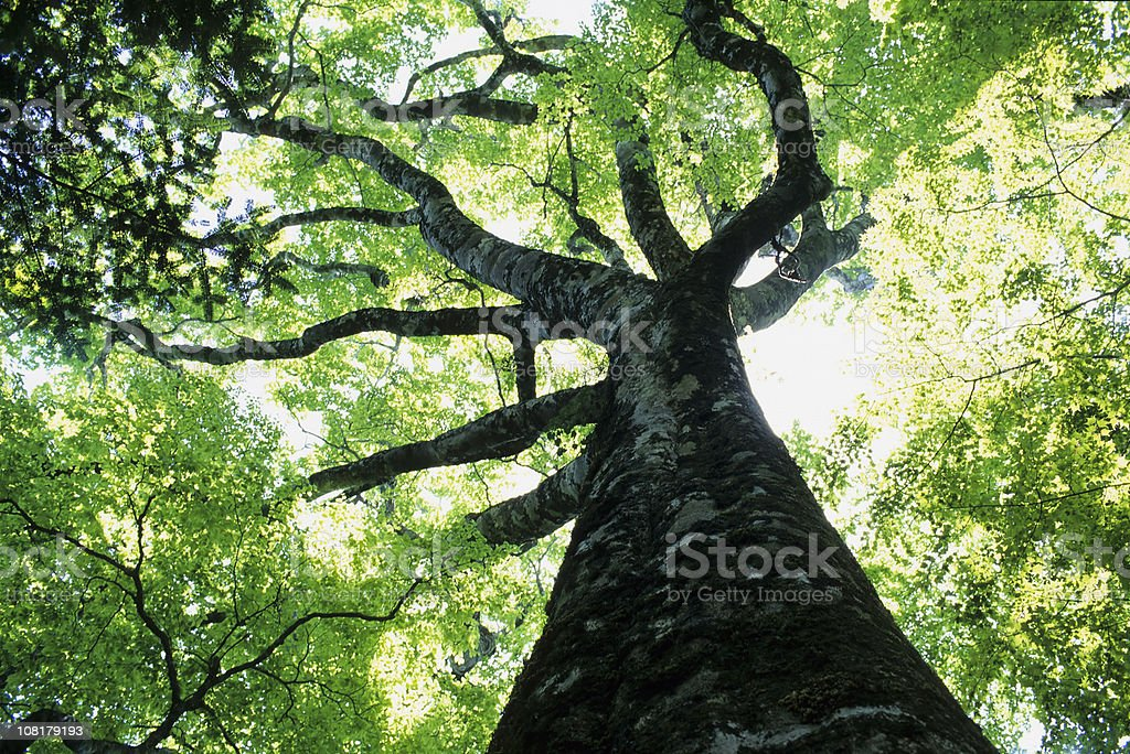 big beech stock photo