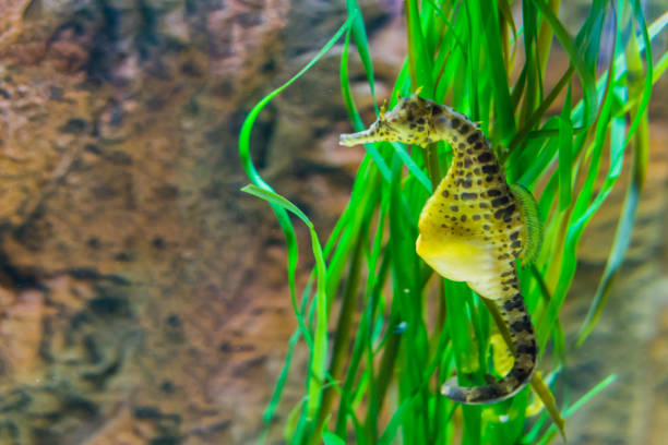 big belly sea horse in macro closeup, yellow color with black spots, tropical fish from the australian ocean big belly sea horse in macro closeup, yellow color with black spots, tropical fish from the australian ocean male animal stock pictures, royalty-free photos & images