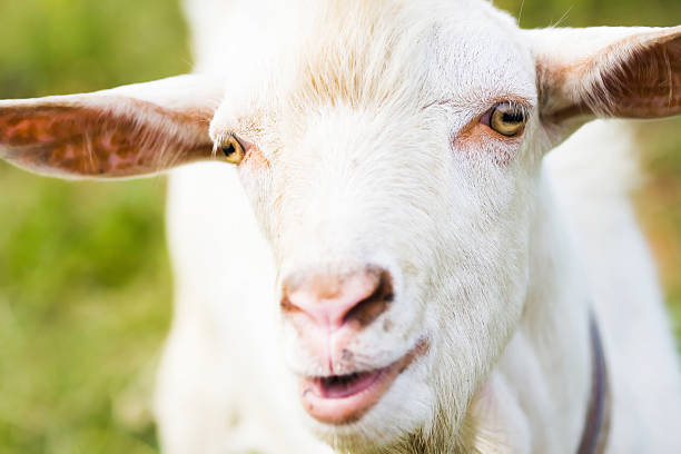 big billy goat einem – Foto