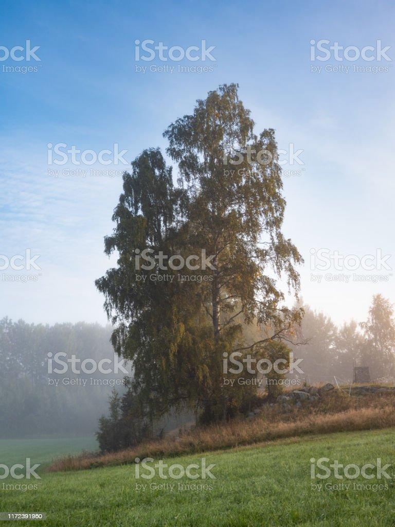 Storbjörk på ett fält en sommarmorgon med dimma över det vackra svenska landskapet - Royaltyfri Bildbakgrund Bildbanksbilder