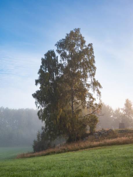 Storbjörk på ett fält en sommarmorgon med dimma över det vackra svenska landskapet bildbanksfoto