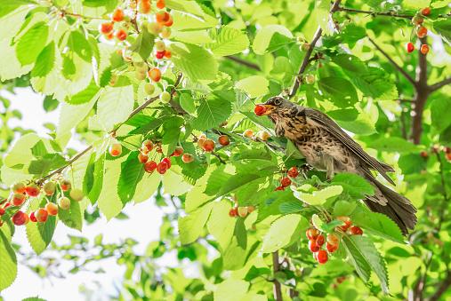 Big bird eat cherries on the tree in the garden