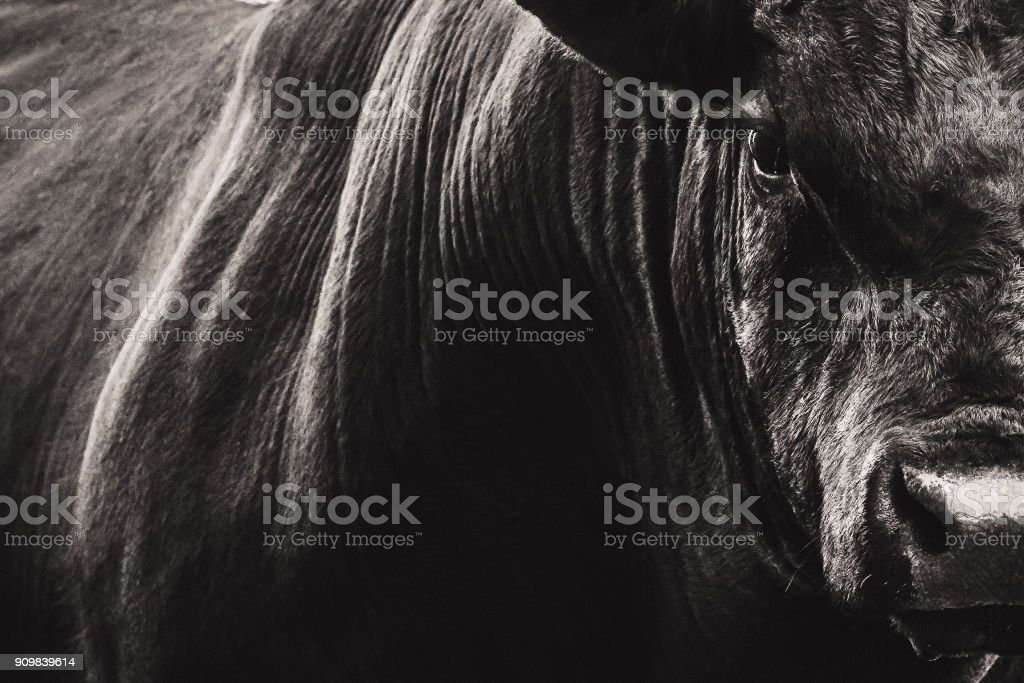 Big Black Angus bull closeup stock photo