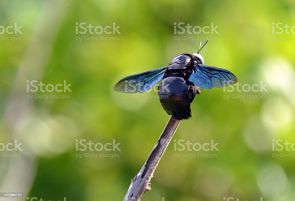 big black bee color flying insects sitting on a twig stock photo