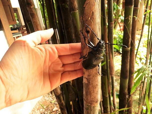 Big Black Beetle stock photo