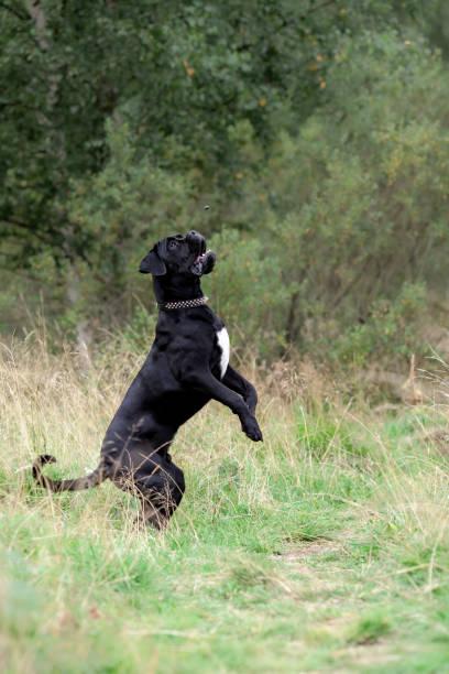 Big black cane corso active dog playing at nature Big black cane corso active dog playing and jumping at nature cane corso stock pictures, royalty-free photos & images
