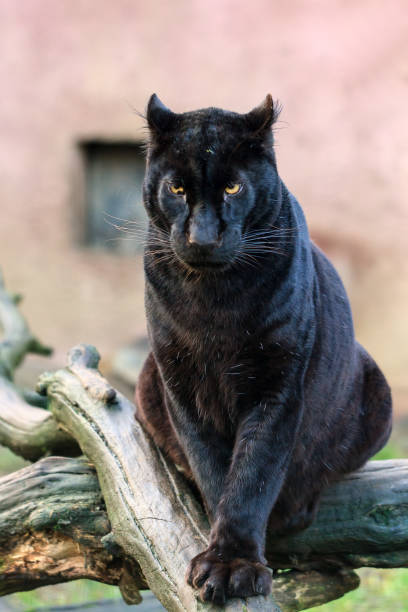 big black cat - black leopard stock photos and pictures