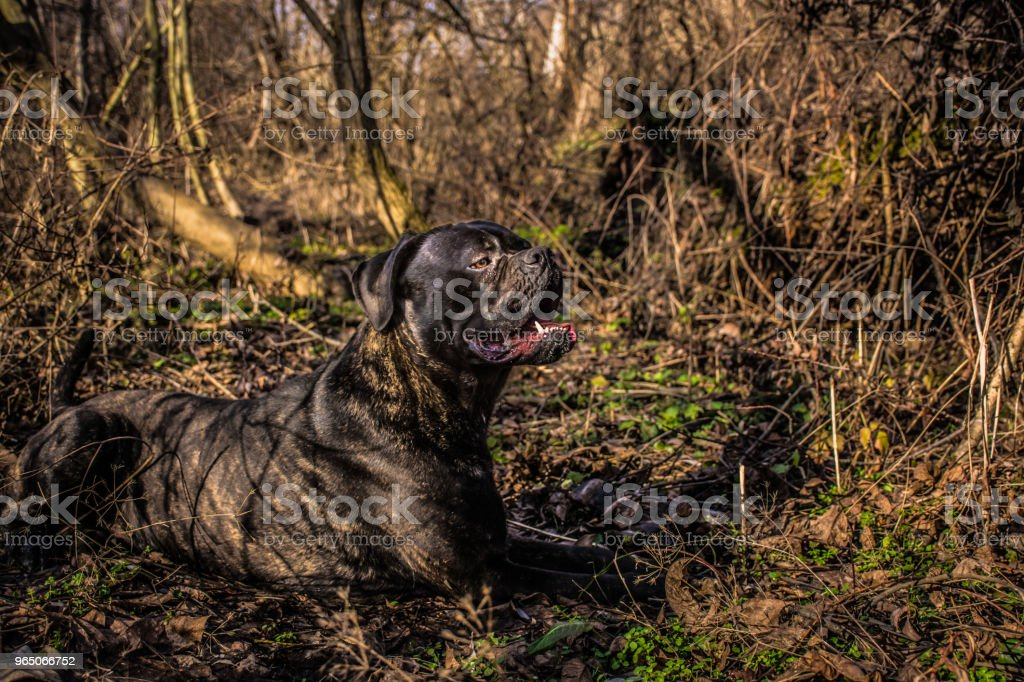 Big Black Dog Cane Corso Lying Down And Resting In Nature Stock