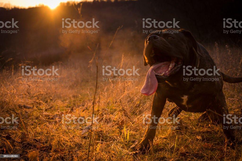 Büyük, siyah köpek zevk alan, gün ışığı ve güzel günbatımı; İtalyan mastiff - Royalty-free Arkadaşlık Stok görsel
