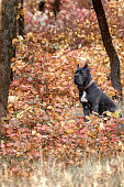 big black dog in autumn leaves. the Fall