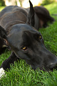 istock Big black dog on grass 955632622