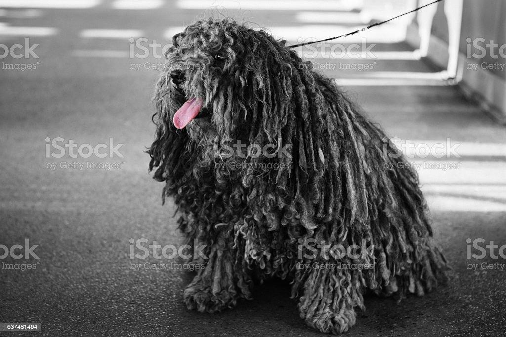Big black dog puli pet with long corded coat dreadlocks stock photo