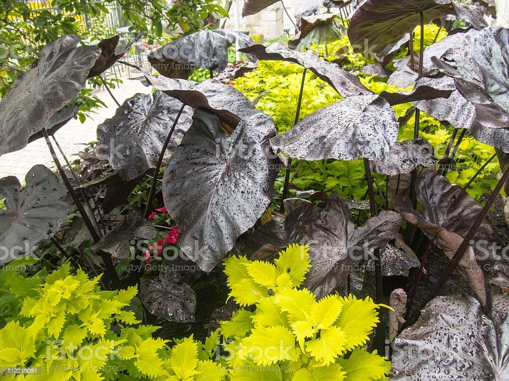 Big Black Elephantears Taro Plant Stock Photo Download Image Now