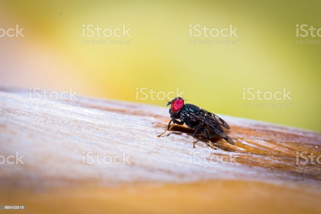 Big black fly with red eyes (Tachinidae) sitting on a banana tree branch, Nosy Komba, Madagascar stock photo